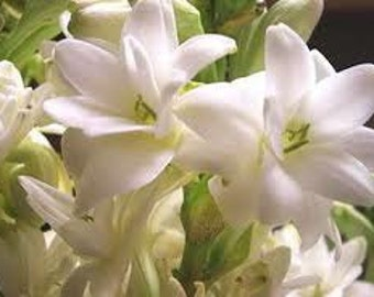 Free Shipping - 1oz Natural Tuberose Perfume Oil, Tuberose Fragrance Oil, Tuberose Scent, Tuberose Oil, Lotions and Potions