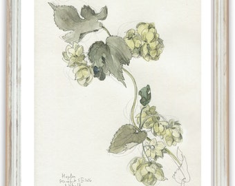 Hop beer plant drawing N1 - PRINT of hop plant watercolour and pencil drawing. Hop blossom botanical art by Catalina