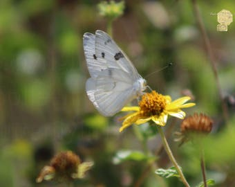 White Butterfly On Buttercup Yellow Daisy Photograph Prints up to 16x24 Fine Art Photography Bring the Outdoors In Zen Home Decor Interior