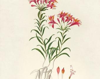Vintage Botanical Flower Print 8x10 P2