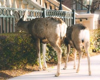 Deer Rears at the Broadmoor (Colorado Springs)- (Print/Photo/Wall Art/Coffee Cup/Magnet)