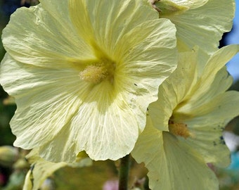 35+ Old Fashioned Giant Yellow Hollyhock Flower Seeds / Perennial