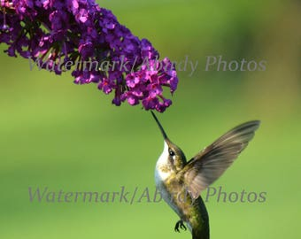 "Photo- Hummingbird Feeding Above 11"" x 14""   #4478-70-2015"