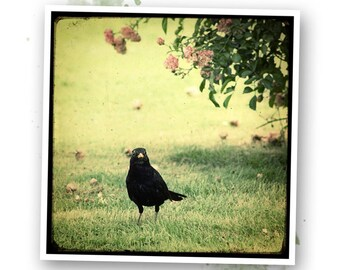 The Blackbird and rose - Nature - photo art signed 20x20cm