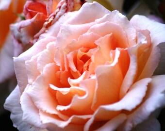 Flower print - Peach print - Colour print - Wall Art - Home Decor - Flower Gift - Flower photo - Nature Print - Nature Photo - Flower Decor