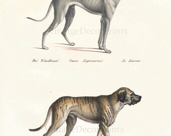 RESERVED for Charlotte. Please do not buy. This is not for sale Greyhound and Mastif Antique Dog Print, From  Heinrich R Schinz, Date 1827.