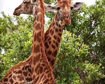 Giraffes embrace | African Photography | Instant Digital Download | Stock Photo | Printable