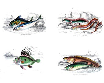 Fish - Mackarel, The Dory, Red Band Fish, Cornish Sucker, Globe Fish - Jardine's Naturalist Illustrations - 2 Sided 1990's Book Page