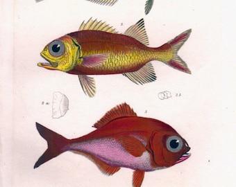 1834 Antique Fish Print, Red  Bream, Soldierfish, Marine, Ocean Decor, Sea Life, Beach Decor, Vintage Fish Print, Nautical Art, Cuvier