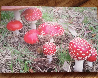 Toadstools - canvas art, ready to hang, photograph, canvas mounted print.