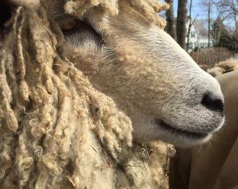 Raw, coated Leicester Longwool fleece 1lb