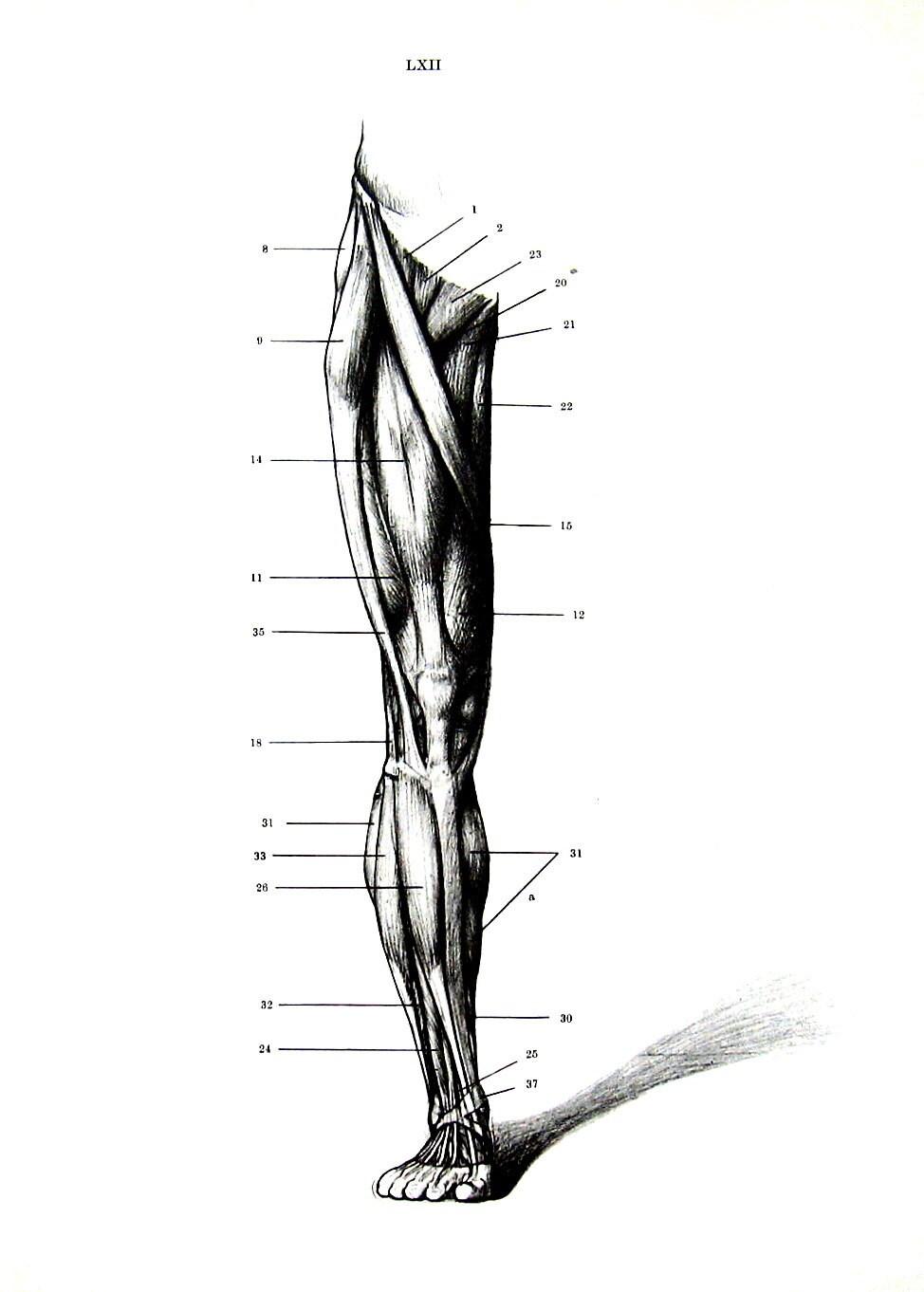 Anatomía humana músculos de la pierna anatomía Vintage