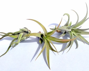 Air Plant Xeric Variety Mix of 20