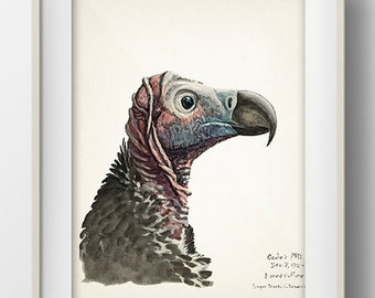 Vulture (Lappet-Faced) - BI-12 - Avian fine art print of a vintage natural history antique illustration