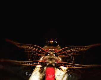 Red Dragonfly Wings - Structure - Bright Insect against black background Macro focus Interesting Image