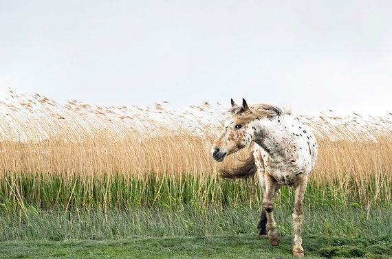 Appaloosa horse in Wind,horse prints,equine art,animal pictures,horses,limited edition print