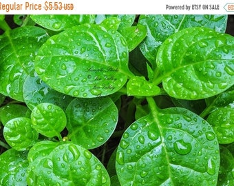 Basella alba 15 seeds Indian Malabar Spinach Asian cuisine Tasty Leaves Greenhouse Tropical Gardening Patio Plant Stir Fry