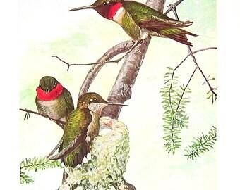 1936 Bird Print FUERTES  Nighthawk Hummingbird P65