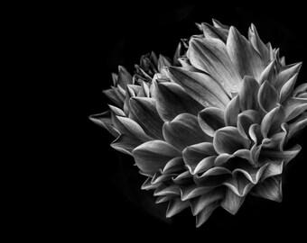 In Bloom -  Dahlia - Glossy Print