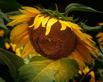 "Sun Flower Floral Photography, 8x12 (and larger), ""Sunflower Sneeze"" Nature Fine Art Photo Print, Yellow Flower Photograph"