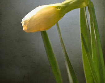 Yellow Daffodil Bud  Fine Art Photograph, Green, Nature, Home Décor, Minimalist