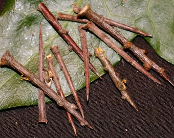 10 British Blackthorn Tree Thorn's for Protective Spellwork or Charms - Pagan, Wicca, Witchcraft