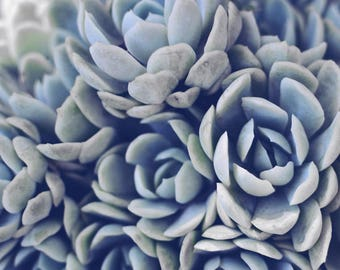 "Succulent photography, sage gray green wall art, botanical print, pale gray blue, sedum art, nature art print 8x10 16x20 ""Sagey Succulents"""