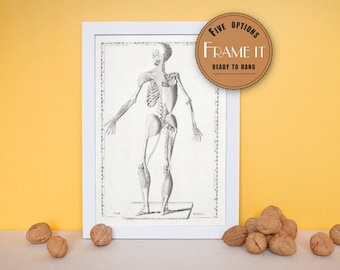 """Vintage anatomical print showing articulation of musculo-skeletal system-fine art print, art of anatomy,8""""x10"""" ; 11""""x14"""", FREE SHIPPING  156"""