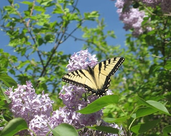 Butterfly on Lilac- A photo for all nature lovers.