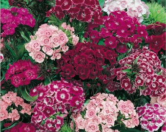 Sweet William - Tall Double Mixed Colors - Heirloom - Wonderful Aroma - 25 Seeds