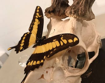 Papilio Thoas - Framed