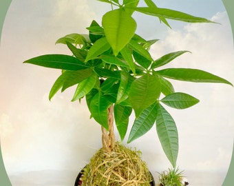 Kokedama Money Tree Plant,  Moss-Ball Bonsai Plant String Garden, A Birthday Gift, Gift For Her, A Perfect Gift For All Occasion