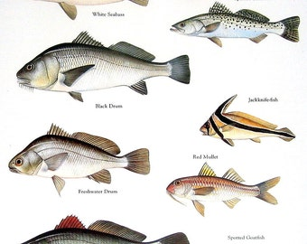 Fish Print - White Seabass, Black Drum, Spotted Seatrout, Red Mullet etc. - Vintage 1984 Fish Book Plate