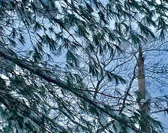 Sebec Lake Tree Branches w/ Sky