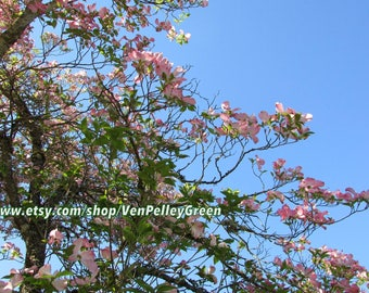 Pink Blossoms - Floral - Trees - Photography - Prints