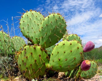 Opuntia ficus-indica / 10 fresh seeds (Prickly pear, Indian fig opuntia)