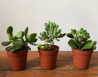 Succulent - Plants - Home / Office  Indoor Plant