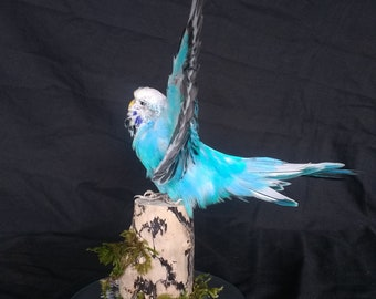 Taxidermy Budgie