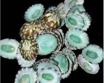 Bulk Green (Aqua) Limpet Seashells Coastal Beach Wedding Decor and Supplies for Floral and Photo Prop Accessories