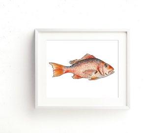 Red Snapper Watercolor Fine Art Print