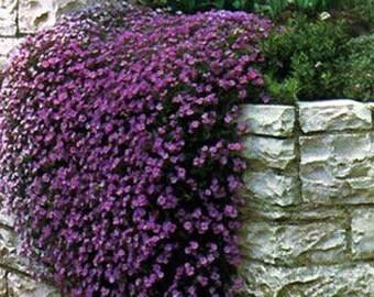 Aubrieta Rock Cress Cascade Purple Flower Seeds / Perennial   50+