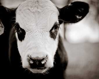 Cow Print, Farmhouse Print, Cow Photo, Cow Photography, Farm Photography, Black Hereford Print
