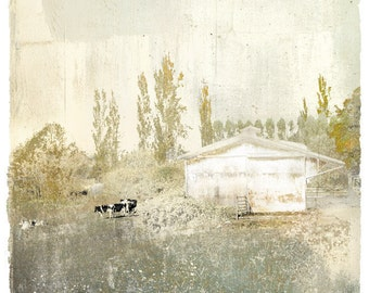 The Lombardy Cows,limited edition archival pigment print