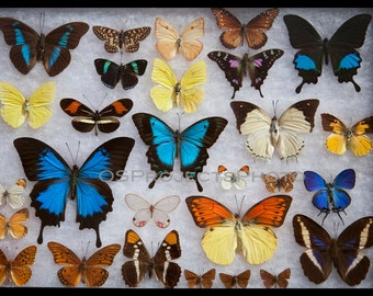Butterflies collection N1 Photography - Butterfly Wall decor - Multicolor image print