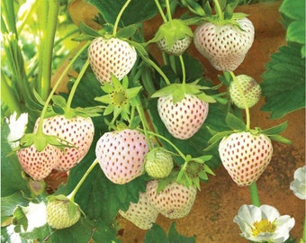 White Carolina Strawberries, Pineberry, 10 Bare Roots, Pineapple, Strawberry, Unique, Light Pink Berries, Edible, Tasty, Healthy