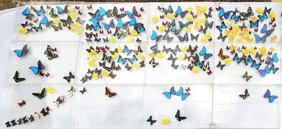 Twelve Panel butterfly Mural made with real butterflies in acrylic boxes - Mariposa Gallery Marshall Hill