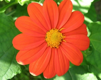 Tithonia (Mexican Sunflower) Seeds Butterfly Garden Plant, Organically Grown, Open Pollinated