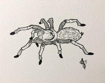 Brachypelma Sp illustration