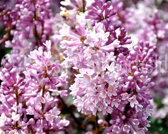 Purple Lilac, Spring Blooms, Northwest Cottage Photo, Peaceful Garden Wall Art Tranquil Pale Pink Lavender Flowers, 8x10,10x13,11x14,16x20