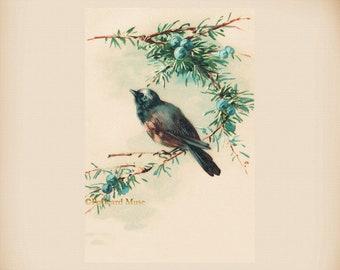 Bird With Blue Berries New 4x6 Vintage Postcard Image Photo Print FN23